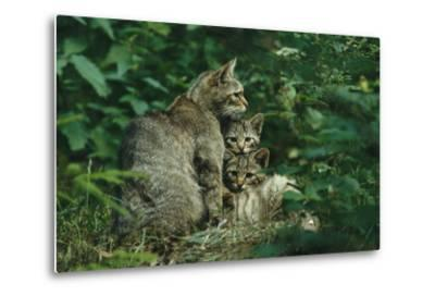 Wildcat with Young, Bayerischer Wald National Park, Germany-Norbert Rosing-Metal Print