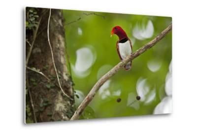 Vogelkopf Peninsula, West Papua, New Guinea, Indonesia-Tim Laman-Metal Print