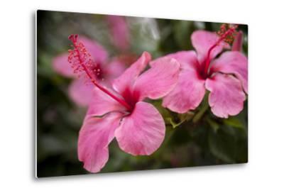 Hibiscus Flower, Cozumel, Mexico-Jim Engelbrecht-Metal Print