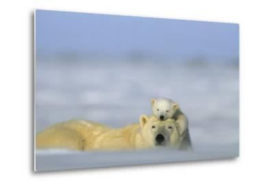 A Polar Bear Cub Finds a Peaceful Sleeping Spot On Its Mother's Head-Norbert Rosing-Metal Print
