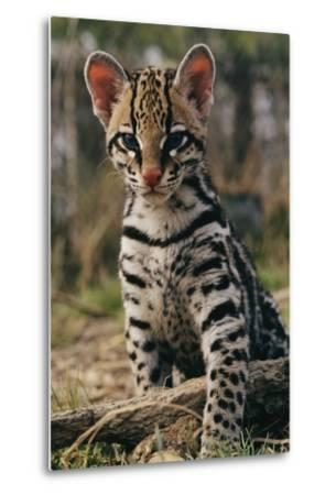 A Young Ocelot (captive) Projects an Image of Innocence-Roy Toft-Metal Print