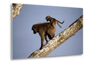 A Mother Olive Baboon (Papio Anubis) Carries Her Baby On Her Back As She Climbs Down a Tree-Tim Laman-Metal Print