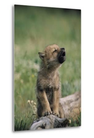 A Wolf Pup (captive) Sits Up and Howls (Canis Species)-Tom Murphy-Metal Print