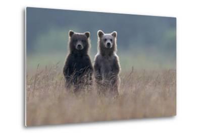 Two Brown Bear Spring Cubs Standing Side-by-side in Curiosity-Barrett Hedges-Metal Print