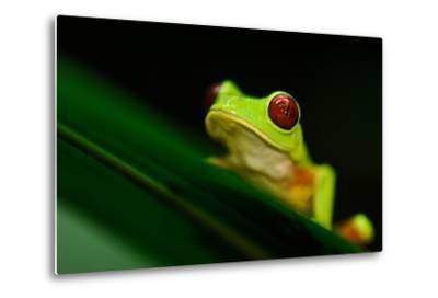 A Red-eyed Tree Frog (Agalychnis Callidryas) Perches on a Leaf-Kike Calvo-Metal Print