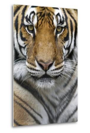 Portrait of a Male Bengal Tiger, Panthera Tigris Tigris-Karine Aigner-Metal Print