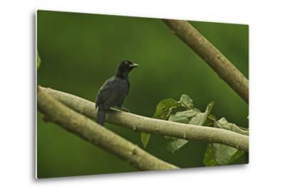 A Trumpet Manucode Bird of Paradise Perches on a Tree Branch-Tim Laman-Metal Print