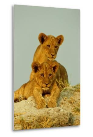 Two Lion Cubs, Resting But Alert-Beverly Joubert-Metal Print