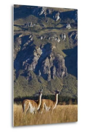 Guanacos Graze and Roam in the Steppe of the Chacabuco Valley-Beth Wald-Metal Print