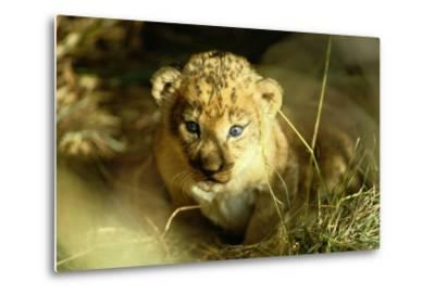 A Two-week-old Lion Cub with Blue Eyes-Beverly Joubert-Metal Print