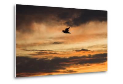 A Seagull in Flight in a Golden Sky at Sunset-Jonathan Irish-Metal Print