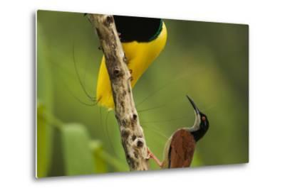 A Male Twelve Wired Bird of Paradise Brushes the Female with Feathers-Tim Laman-Metal Print