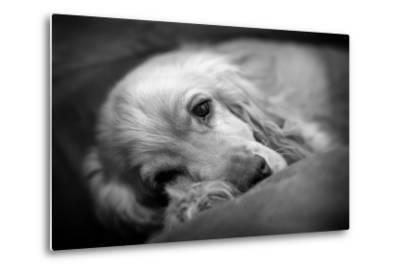 Dog Breeds - Cocker Spaniel - Puppies - English Cocker-Philippe Hugonnard-Metal Print