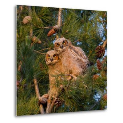 Two Owlets Sit in a Pine Tree-Chris Schwarz-Metal Print
