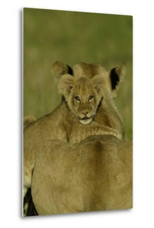 An African Lion Cub, Panthera Leo, Climing Onto It's Mother's Back-Beverly Joubert-Metal Print