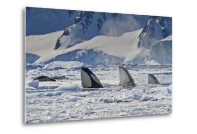Three Killer Whales Hunt a Leopard Seal on Pack Ice-Ralph Lee Hopkins-Metal Print