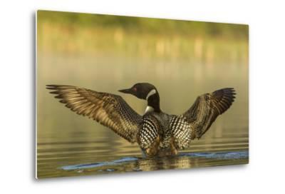 Male Common Loon Bird Drying His Wings on Beaver Lake Near Whitefish, Montana, USA-Chuck Haney-Metal Print