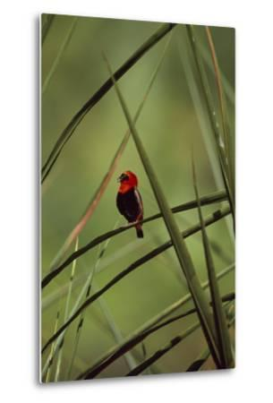 A Male Red Bishop Bird, Euplectes Orix, Perched On a Sedge, Calling-David Pluth-Metal Print