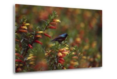 A Red-chested Sunbird, Nectarinia Erythrocerca, Among Flowers-David Pluth-Metal Print