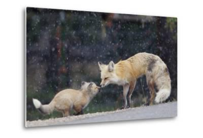 A Mother Red Fox, Vulpes Vulpes, and Kit Nuzzle Each Other-Barrett Hedges-Metal Print