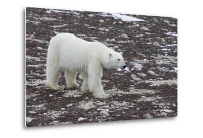 A Young Male Polar Bear Walks on Snow Spotted Arctic Tundra-Matthias Breiter-Metal Print