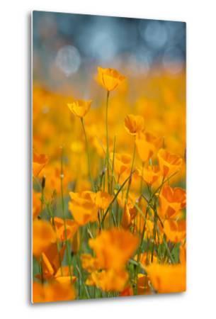 Riverside Poppies-Vincent James-Metal Print