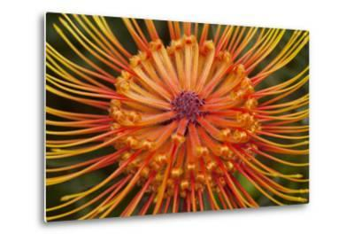 Protea Flower, Kula Botanical Garden, Upcountry, Maui, Hawaii, USA-Douglas Peebles-Metal Print