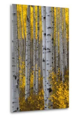 A Forest of Aspen Trees with Golden Yellow Leaves in Autumn-Robbie George-Metal Print