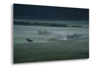A Red Deer Bellows on a Foggy Evening During Rutting Season-Norbert Rosing-Metal Print