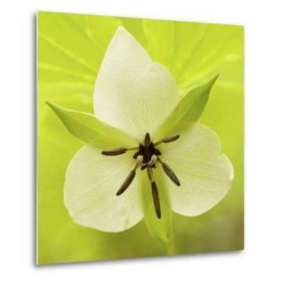 Nodding Trillium in Great Smoky Mountains National Park, Tennessee-Melissa Southern-Metal Print