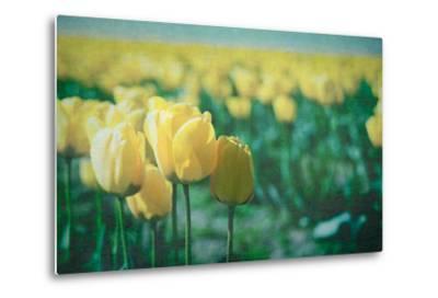 Yellow Tulip Field--Metal Print
