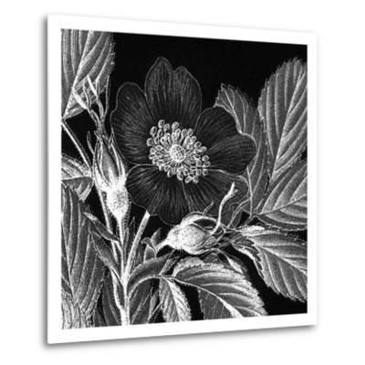Rosa Pomifera-Thea Schrack-Metal Print