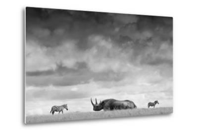 A White Rhino Lies in the Grass As Two Zebras Graze Behind-Robin Moore-Metal Print