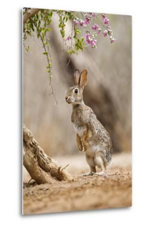 Eastern Cottontail Rabbit, Wildlife, Feeding on Blooms of Native Plants-Larry Ditto-Metal Print