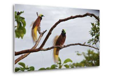 A Pair of Greater Birds of Paradise Perch in a Tree At Their Display Site-Tim Laman-Metal Print