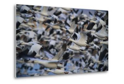 A Huge Flock of Snow Geese in Flight-Raul Touzon-Metal Print
