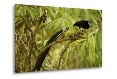 A Male Princess Stephanie's Astrapia Bird of Paradise Feeds On Schefflera Fruit-Tim Laman-Metal Print