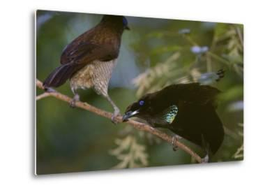A Western Parotia Bird of Paradise Male Displays for a Female-Tim Laman-Metal Print