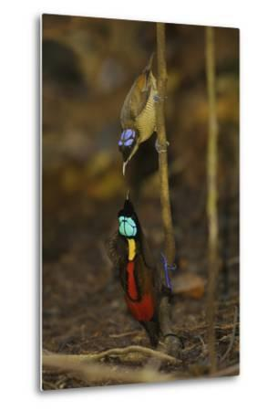 A Male Wilson's Bird of Paradise Displays to Female From a Sapling-Tim Laman-Metal Print