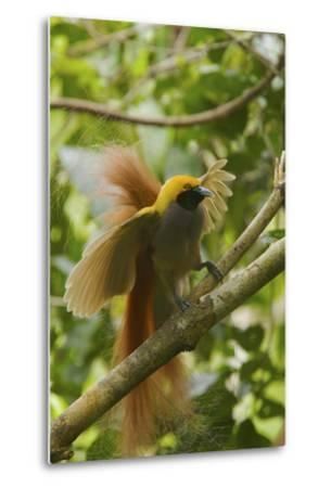 A Goldie's Bird of Paradise Adult Male Performing His Courtship Display.-Tim Laman-Metal Print