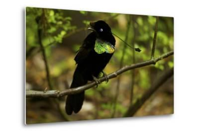 A Male Wahne's Parotia On Perch Above Display Court-Tim Laman-Metal Print