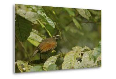 A Female Bronze Parotia Bird of Paradise in the Foja Mountains-Tim Laman-Metal Print