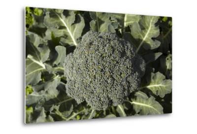 Broccoli Growing in the Garden-David Wall-Metal Print