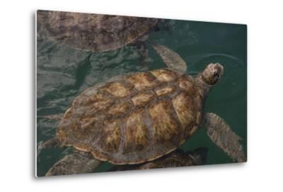 Turtle Farm, Green Sea Turtle, Grand Cayman, Cayman Islands, British West Indies-Lisa S^ Engelbrecht-Metal Print