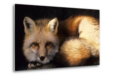 Red Fox Wildlife, New Mexico, USA-Gerry Reynolds-Metal Print