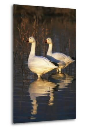Geese Standing in Pool, Bosque Del Apache National Wildlife Refuge, New Mexico, USA-Hugh Rose-Metal Print