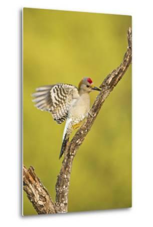 Golden-Fronted Woodpecker Bird, Male Perched in Native Habitat, South Texas, USA-Larry Ditto-Metal Print