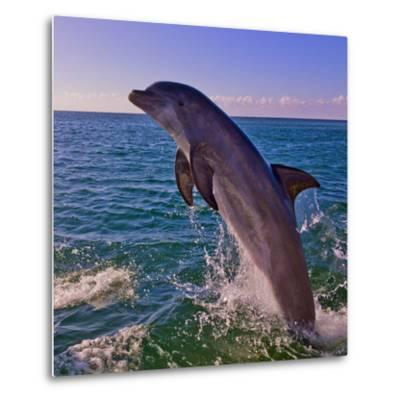 Dolphin Leaping from Sea, Roatan Island, Honduras-Keren Su-Metal Print
