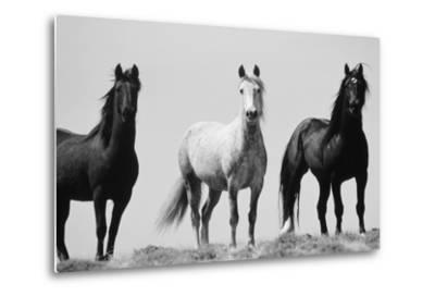Wild Stallion Horses, Alkali Creek, Cyclone Rim, Continental Divide, Wyoming, USA-Scott T^ Smith-Metal Print