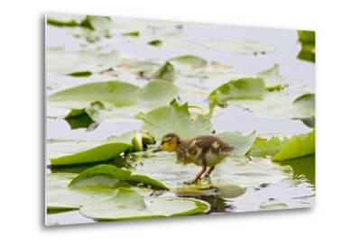 Mallard Duck, Duckling Wildlife, Juanita Bay Wetland, Washington, USA-Jamie & Judy Wild-Metal Print